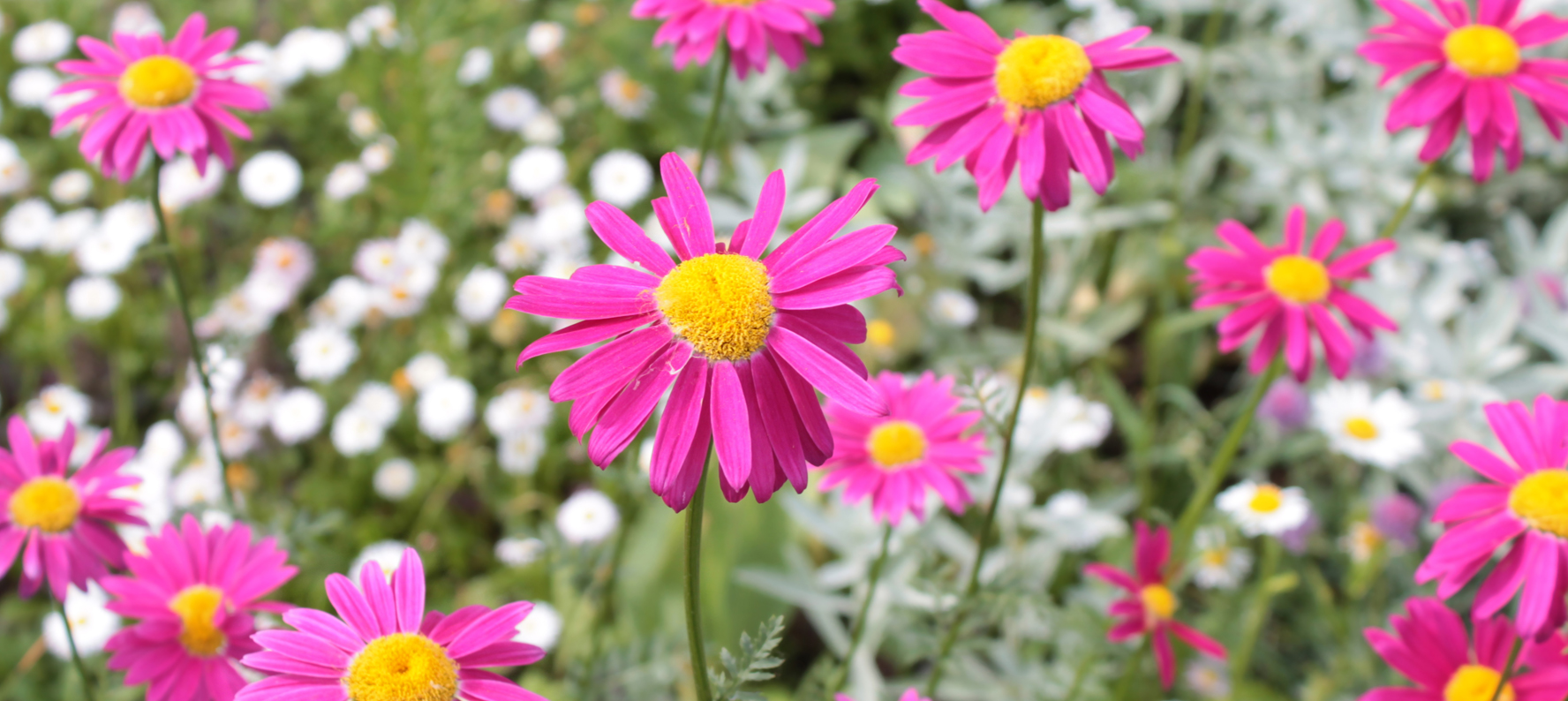 Anacyclus pyrethrum uses in natural skin care products.