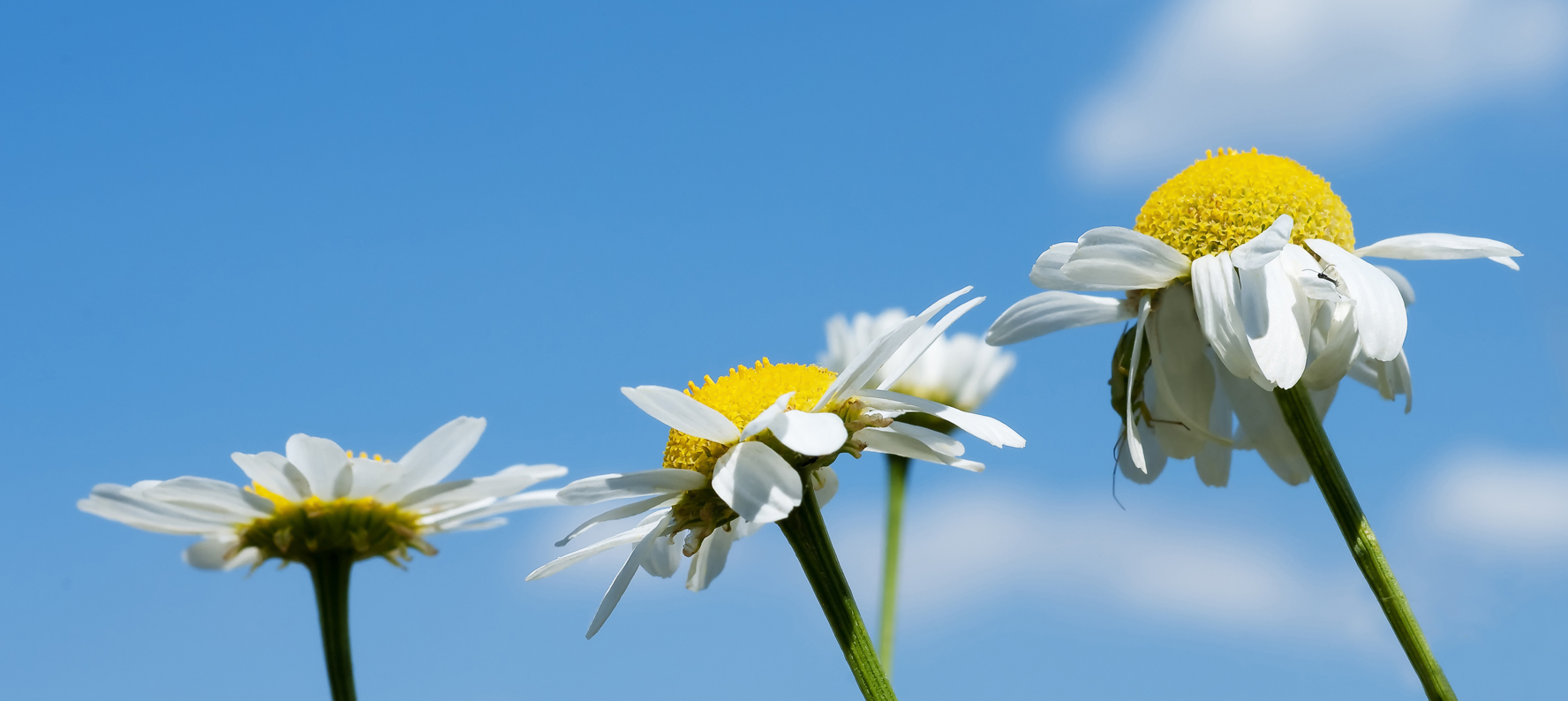 Anthemis Nobilis Chamomile uses in natural skin care products