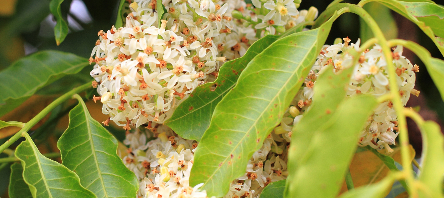Azadirachta Indica Neem Oil is used in natrual skin care products for its anti-inflammatory, toxin removal and antimicrobial effects properties.