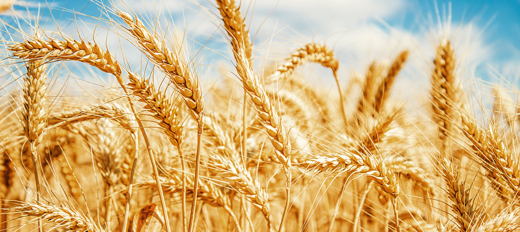 Barley is used in natural skin care products for its anti-inflammatory properties.