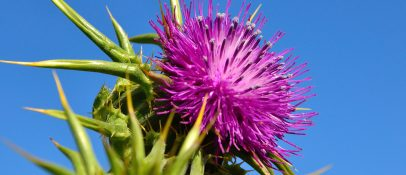 Blessed thistle is used in natural skin care products for its astringent properties. It will temporally shrink and tighten the top layer of skin reducing the appearance of wrinkles for a few hours.